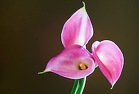 Pink Calla Lilies - Zantedeschia rehmannii