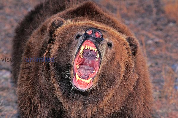 Kodiak Bear (Ursus arctos middendorffi) adult with open mouth, Alaska, USA