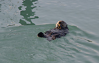 Sea Otter (Enhydra lutris), Cordova, Alaska, US