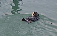 Sea Otter (Enhydra lutris), Cordova, Alaska, US