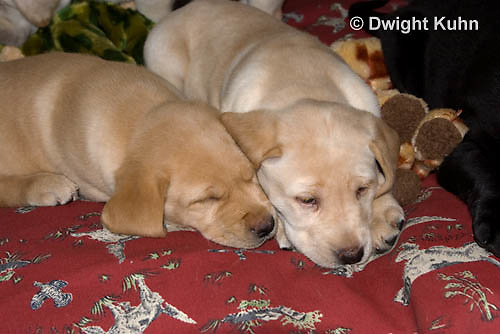 SH38-503z Lab Puppies - Genetic variation Yellow and White, 6 weeks old..