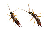Lesser Earwig - Labia minor - left- male/right - female