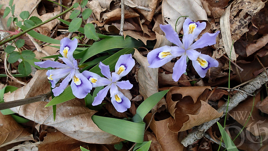 NWA Democrat-Gazette/FLIP PUTTHOFF <br /> Dozens of wildflower types, such as these crested iris, create a dazzling display, seen here April 14 2017, along the 1-mile trail to Kings River Falls.