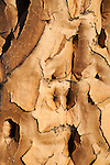 Quiver tree bark, Aloe dichotoma, Quiver tree forest, Keetmanshoop, Namibia, Africa