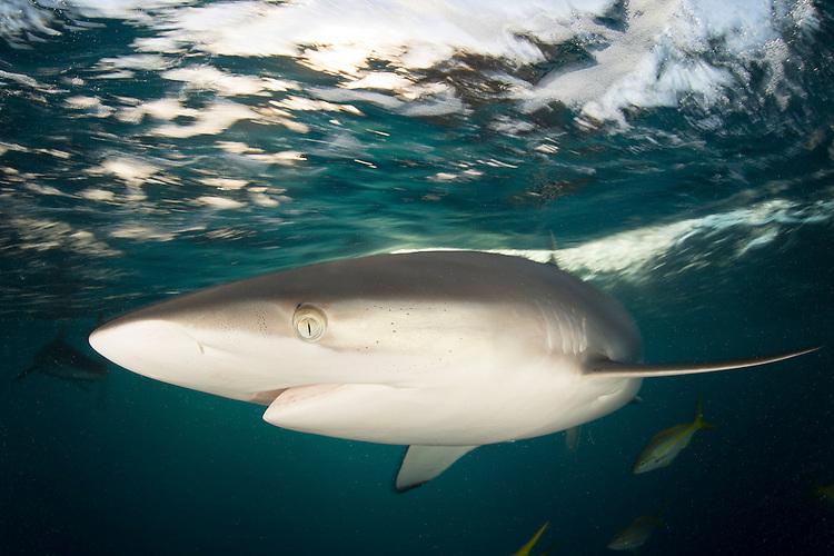 Silky shark: Carcharhinus falciformis, swimming near the surface, Jardine de la Reina ( Gardens of the Queen ), Cuba