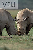 A pair of White Rhinoceros feeding. ,Ceratotherium simum, Lake Nakuru National Park, Kenya