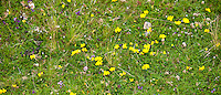 Dandelion, wild orchid and Birdsfoot trefoil, Lotus corniculatus, wildflowers near Watendlath in Lake District National Park, Cumbria, UK