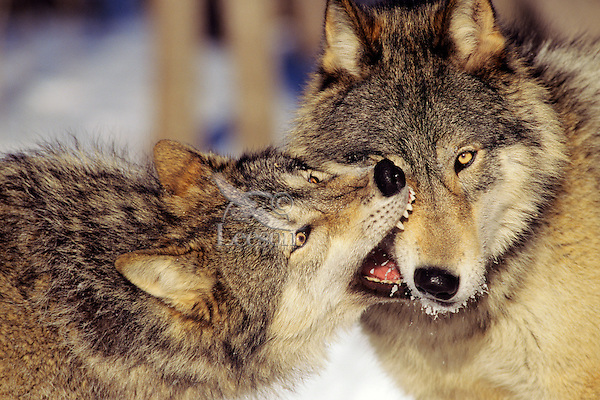 Gray Wolves (Canis lupus) involved in dominance behavior--usually no one gets hurt in these short but intense displays.
