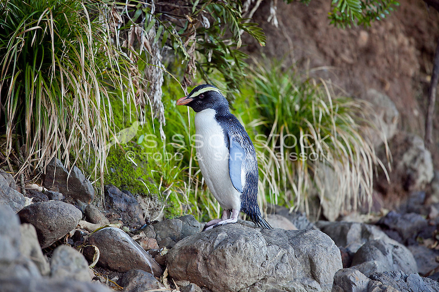 A Fiordland crested penguin on a rocky beach in South Westland, South Island, New Zealand