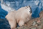 big white long haired billy goat stands sideways profile in front of a huge snow coverd mountain