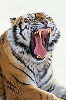 Siberian Tiger (Panthera tigris) yawning