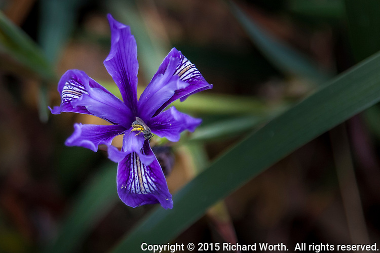 A brilliant purple Douglas Iris flower with a bee at its center.  Bean Hollow State Beach on the California coast south of San Francisco.