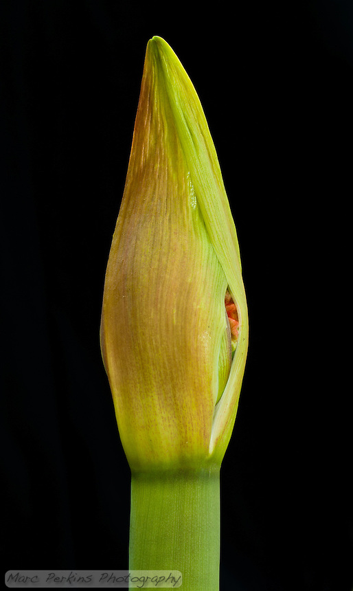 A young developing amaryllis ([Hippeastrum] sp cultivar) flower just starting to emerge from its sheath.  Amaryllis flowers grow on a scape, a long leafless stem, and develop inside spathes, bracts (modified leaves) that surround an inflorescence (cluster of multiple flowers).  The two spathes are just starting to split open, revealing a bit of red from one of the flowers.  This image was captured outside using natural light, with a reflector used to angle light on to highlight the texture of the flower bud's tip.  No flowers were harmed in the production of this image.