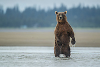 Alaskan coastal brown bear (Ursus arctos middendorfi) fishing for silver salmon in Lake Clark National Park