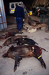Europe, France, Ardeche. Hunting wild boar. Several boar killed during a 'good hunt'. Local populations are deeply divided between hunt lovers and haters. 1994.'MEAT' across the World..foto © Nigel Dickinson