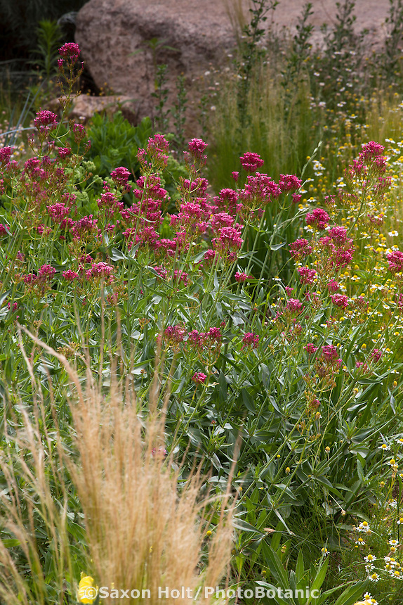 Centranthus ruber, red valerian or Jupiter's Beard flowering perennial in pollinator garden