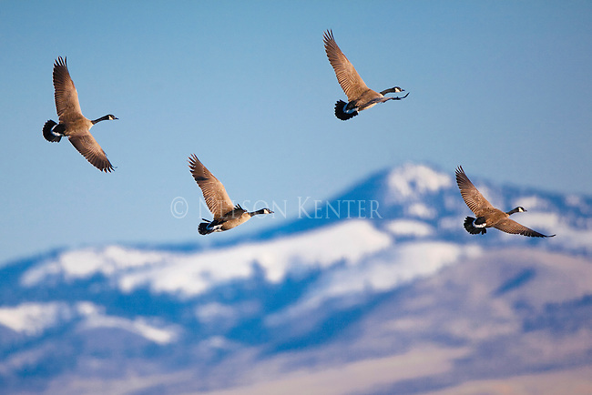 Canada Geese in flight in the Bitterroot Valley in Montana