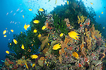 Bligh Waters, Vatu I Ra Passage, Fiji; an aggregation of Golden Damsel fish swimming amongst large colonies of dark green Black Sun Corals and colorful sea fans growing on a coral bommie