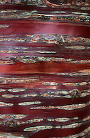Prunus serrula tree bark detail (Birch Bark Cherry) full frame