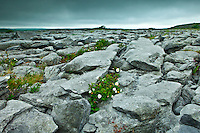 Limestone pavement glaciated karst landscape and native flora in The Burren,  County Clare, West of Ireland