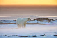 Polar bear sow stands in the strong wind and blowing snow on Barter Island, Alaska.