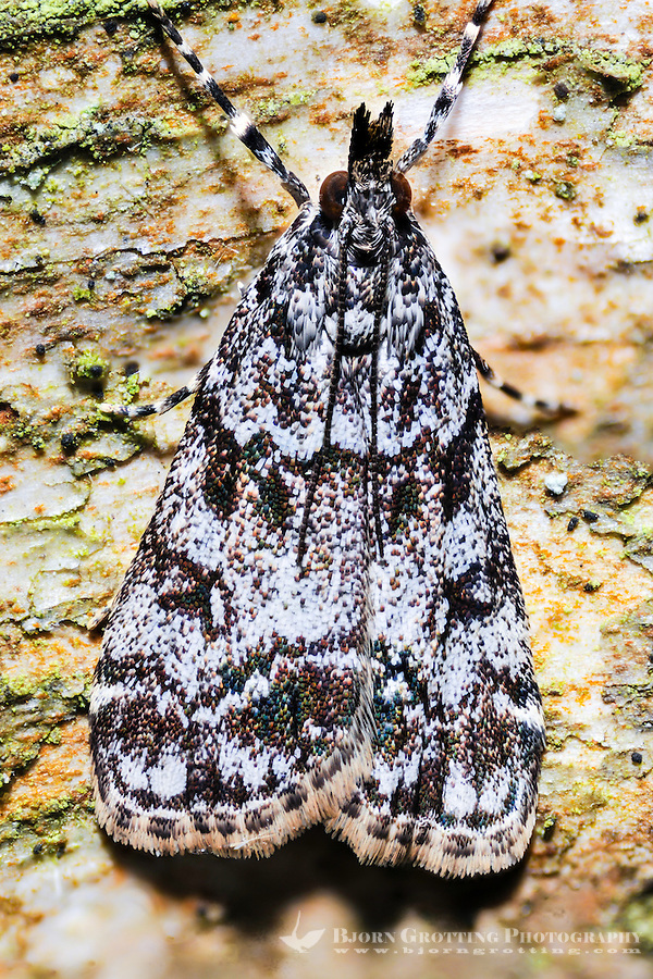 Norway, Stavanger. Noctuidae or owlet moth. Focus stacked and merged.