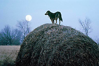 German shepard mix breed dog standing on large haybale at dusk with full moon waiting