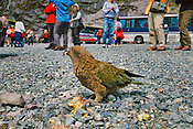 Kea and tourists, Nestor notabilis, Fiordland National Park, New Zealand