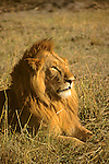 Africa, Kenya, Maasai Mara. Lion at sunset.