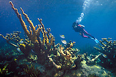 Elkhorn coral and scuba diver