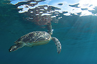 A Green Sea turtle going up for a breath.