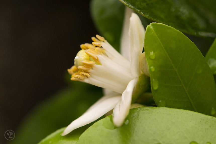 The white flower of a Natsumikan (Citrus natsudaidai.