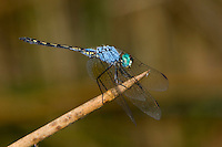 Dropwing Dragonfly male (Trithemis stictica), South Africa