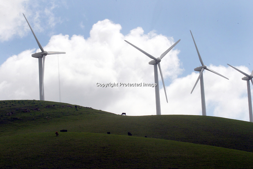Cattle graze below giant windmill on a hillside off Vasco Rd. between Livermore and Brentwood California..Feb 27,2008 (photo by Ron Riesterer)