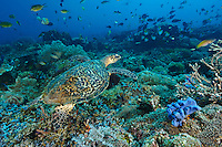 Hawksbill turtle swimming over a coral reef, Sangalaki, Kalimantan, Indonesia. Sangalaki is part of the Derawan Island group, off East Kalimantan.  The island is famous for its reefs, manta rays and cuttlefish, and as an important nesting site for the endangered green turtle.  Sangalaki was a popular tourist destination, until the Indonesian government closed down access to the island in 2009.