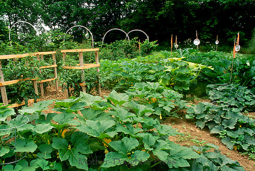 Large vegetable garden with blackberries, squash, tomatoes, and pie tins to scare the birds