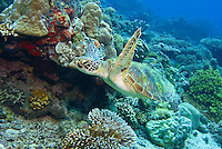 Sipadan, Sabah, Borneo, Malaysia, October 2010. Green Turtles are very common on the reefs of Sipadan. 36 kilometers from mainland Semporna lies the Island of Sipadan, one of the worlds most beautiful divesites. Since the island resorts were closed due to environtmetal issues, the resorts of Kapalai and Mabul have been the main basis for diving sipadan. Photo by Frits Meyst/Adventure4ever.com