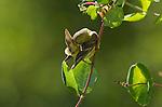 Female lesser goldfinch, Carduelis psaltria. Santa Cruz Mountains, California