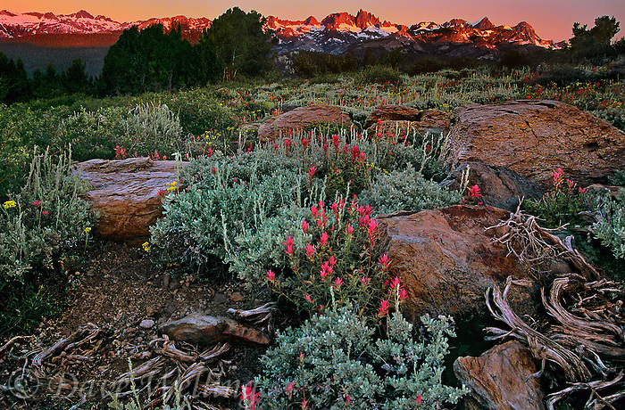 742900556 sunrise lights up the minarets in the eastern sierras and wild growing lemmons paintbrush castilleja lemmonnii from the minarets vista in mono county california