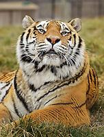 NWA Democrat-Gazette/BEN GOFF -- 03/09/15 BB King, one of many rescued tigers living at Turpentine Creek Wildlife Refuge near Eureka Springs on Monday Mar. 9, 2015.