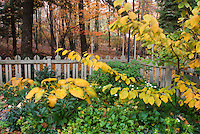Hosta and Hamamelis Pallida in autumn fall foliage color with picket fence