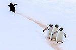 Antarctica , Gentoo penguins
