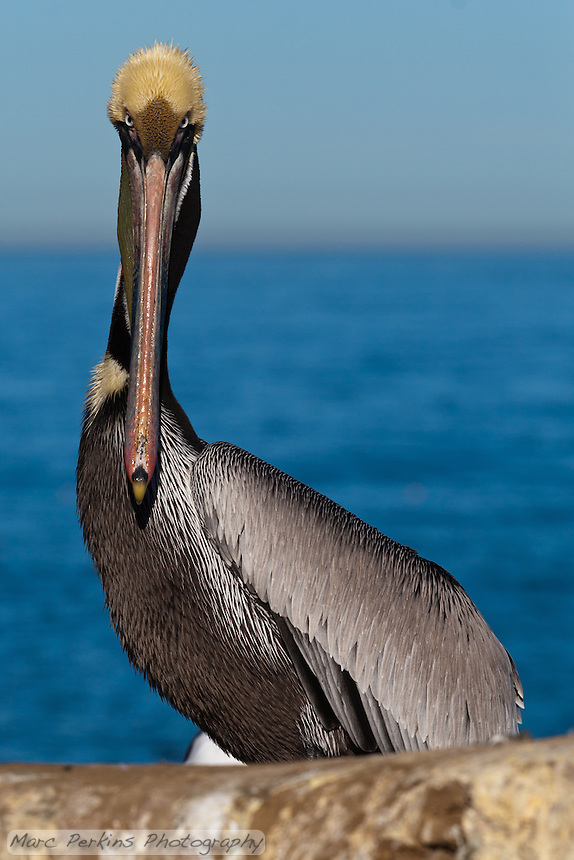 This California brown pelican (Pelecanus occidentalis californicus) is photographed standing just behind a rock, staring straight into the camera with the ocean and sky in the background.  The pelican has just flown back in from having a meal, and thus is dripping with water.