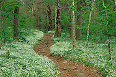Footpath through Fringed Phacelia flowers (Phacelia fimbriata), Great Smoky Mountains National Park, Tennessee, USA.