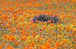 Namaqualand spring flowers, Goegap nature reserve, Northern Cape, South Africa