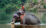 A mahout guides his Asian elephant (elephas maximus)accross a river at Pak Lai, Laos.