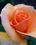 A new rose, dampened at the beginning of a light rain.  © Rick Collier
