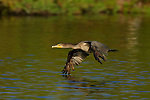 Cormorant in Flight Double-crested Cormorant Sepulveda Wildlife Refuge Southern California