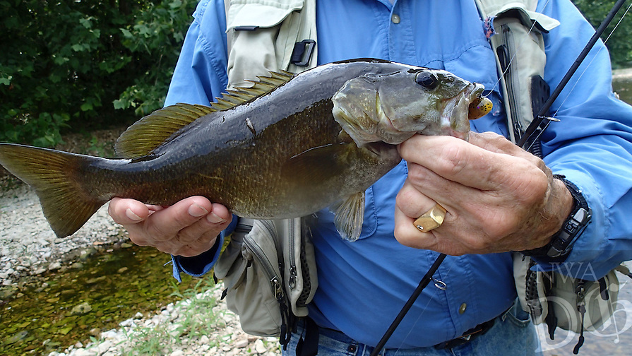 NWA Democrat-Gazette/FLIP PUTTHOFF <br /> This 16-inch smallmouth bass hit a tube bait June 17, 2016 on Flat Creek.
