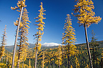 Larch trees in peak fall color in the Bitterroot Mountains of western Montana. Snow capped Lolo Peak visible from the west side.